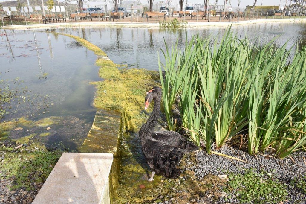 """עיריית נוף הגליל התרגשה לקבל השבוע את """"תושביה החדשים"""": הברבורים ושאר בעלי החיים שישוכנו בפארק העירוני החדש"""